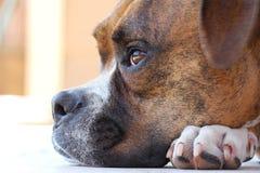 Cane del pugile Fotografia Stock Libera da Diritti
