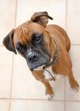 Cane del pugile che aspetta un ossequio Fotografie Stock