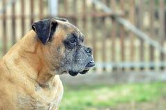 Cane del pugile che guarda al lato Fotografia Stock Libera da Diritti