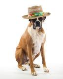 Cane del pugile che porta un cappello di Panama Fotografia Stock Libera da Diritti