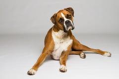 Cane del pugile che sembra curioso Immagine Stock