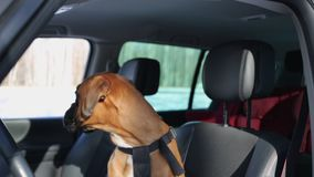 Cane del pugile che si siede sul sedile del conducente e che guarda intorno video d archivio
