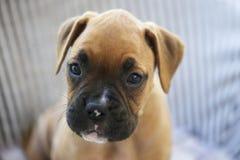 Cane del pugile del cucciolo Fotografia Stock Libera da Diritti