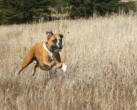 Cane del pugile nel movimento Fotografia Stock