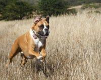 Cane del pugile nel movimento Fotografia Stock Libera da Diritti