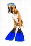 Cane del pugile pronto per azione Immagini Stock Libere da Diritti