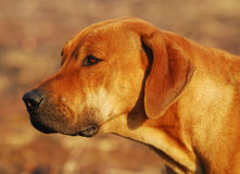 Cane del ridgeback di Rhodesian Fotografie Stock Libere da Diritti