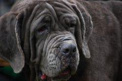 Cane del ritratto con la linguetta fuori Immagine Stock