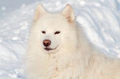 Cane del Samoed Fotografie Stock Libere da Diritti