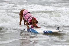 Cane del surfista del bordo di spuma Immagine Stock