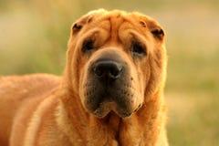 Cane del Tan Sharpei Fotografia Stock Libera da Diritti