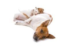 Cane del terrier del Jack Russel con i cuccioli beventi Fotografia Stock