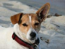 Cane del terrier del Jack Russell Immagini Stock Libere da Diritti