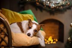 Cane del terrier del Jack Russell Stagione 2017, nuovo anno di Natale, Fotografia Stock