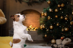 Cane del terrier del Jack Russell Stagione 2017, nuovo anno di Natale, Fotografie Stock Libere da Diritti