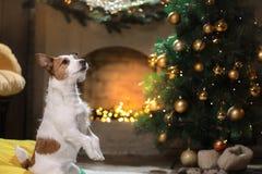 Cane del terrier del Jack Russell Stagione 2017, nuovo anno di Natale, Immagini Stock