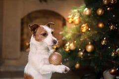 Cane del terrier del Jack Russell Stagione 2017, nuovo anno di Natale, Immagine Stock Libera da Diritti