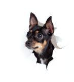 Cane del terrier di giocattolo in foro violento lato di carta isolato Fotografia Stock