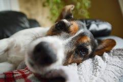 Cane del terrier di Jack Russell che riposa sulla coperta con bohkeh Immagine Stock Libera da Diritti
