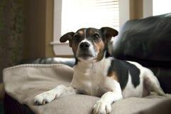 Cane del terrier di Jack Russell che si rilassa sui wi generali beige di un estratto Immagini Stock
