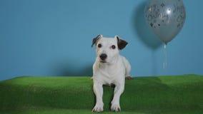 Cane del terrier di Jack russell con il pallone grigio di buon compleanno sul fondo del turchese video d archivio
