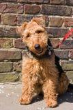 Cane del Terrier di lingua gallese Fotografia Stock Libera da Diritti