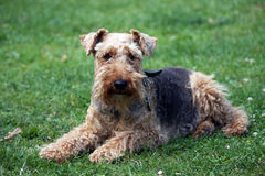 Cane del Terrier di lingua gallese Fotografie Stock Libere da Diritti