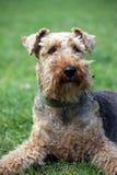 Cane del Terrier di lingua gallese Fotografie Stock
