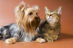 Cane del terrier e del gatto di Yorkshire della razza Fotografia Stock