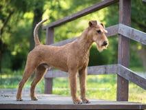 Cane del terrier irlandese sui precedenti più firest della natura Immagini Stock Libere da Diritti
