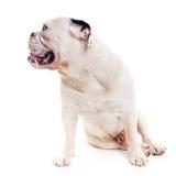 Cane del toro che si siede nella destra di sorveglianza dello studio Immagine Stock