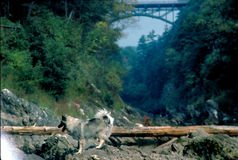 Cane del Vermont fotografia stock