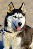 Cane dell'accampamento   Immagine Stock Libera da Diritti