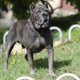 Cane dell'adulto di Cane Corso del cucciolo Immagini Stock Libere da Diritti