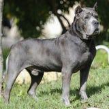 Cane dell'adulto di Cane Corso del cucciolo Immagine Stock