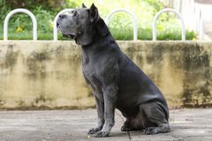 Cane dell'adulto di Cane Corso del cucciolo Fotografia Stock