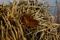 Cane dell'anatra di caccia in ciechi Fotografie Stock