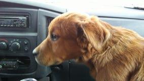 Cane dell'assistente del cavaliere di gioia Fotografia Stock