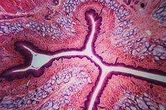 Cane dell'esofago di sezione trasversale illustrazione vettoriale