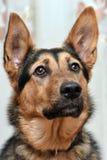 Cane dell'incrocio del pastore Immagini Stock Libere da Diritti