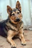 Cane dell'incrocio del pastore Fotografie Stock Libere da Diritti