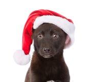 Cane dell'incrocio del primo piano con il cappello rosso Isolato su priorità bassa bianca Immagine Stock Libera da Diritti