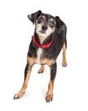 Cane dell'incrocio di Terrier con gli occhi tristi Immagine Stock Libera da Diritti