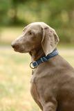 Cane dell'indicatore Fotografia Stock Libera da Diritti