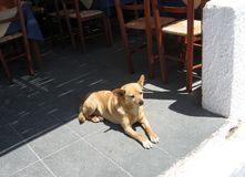 Cane dell'isola di Santorini Fotografia Stock