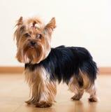 Cane dell'Yorkshire terrier Immagini Stock Libere da Diritti