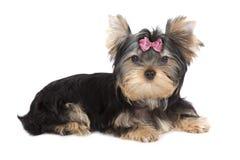 Cane dell'Yorkshire terrier Fotografie Stock Libere da Diritti
