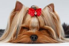 Cane dell'Yorkshire terrier del primo piano con gli occhi chiusi che si trovano sul bianco immagini stock libere da diritti
