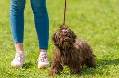 Cane dell'Yorkshire terrier di Brown fotografia stock libera da diritti
