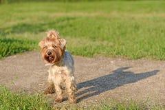 Cane dell'Yorkshire terrier nel parco immagini stock libere da diritti